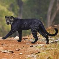 Melanistic Leopard UPSC Current affairs